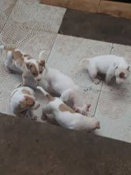 Filhotes de pit bull Red Nose genuínos- Marataízes