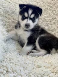 Husky siberiano de ótima linhagem ultima fêmea