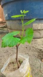 Muda de uva