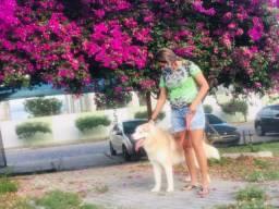 Vende se um cachorro da raça husky siberiano .
