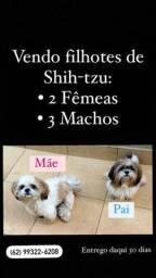 Vendo Filhotes de Shih Tzu (1 fêmea e 2 machos)