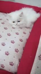 Persas filhotes