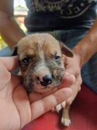 Doação filhote Boxer
