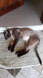 Gato Siamês 8 meses para doação castrado