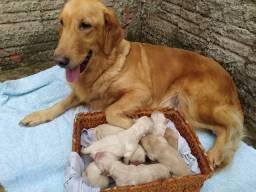 Lindos Filhotes de Golden Retriever com Labrador Retriever
