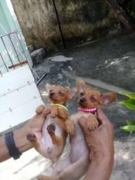 Cachorro Pinscher  0
