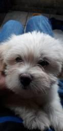 Lindo filhote macho lhasa apso 2 meses