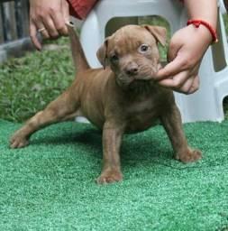 Promoção de dia das mães Belos filhotes de Pitbull