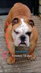 Cobertura bulldog inglês Tyson