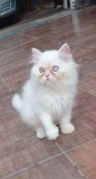 Vendo lindos filhotes de gato perca!