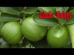 aMudas enxertadas de limão,galego,taiti,ponkan, murcote,lima,pera rio