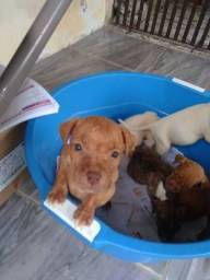 Filhotes de Pitbull Terrier só 250 Pai e Mãe estão no Local