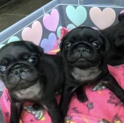 Vendemos Pug !