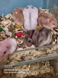 Hamster anão russo mansinhos