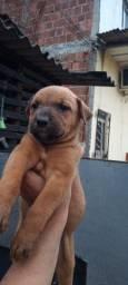 Pitbull com rottweiler leia a discrição