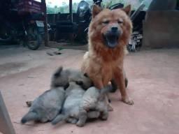 Filhote de Chow-Chow