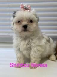 Shihtzu filhotes de ótima procedência na Mk Dr Pet