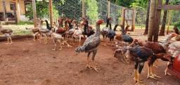 Frangos / galinhas caipira