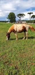 Égua Paint Horse Pura
