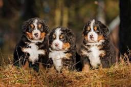 Bernese Montain Dog com garantias e benefícios