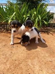 Vendo Terrier Brasileiro ( Fox Paulistinha )