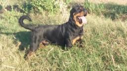 Rottweiler macho disponivel para cruza