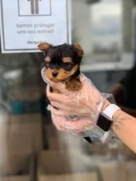 Yorkshire terrier a pronto entrega. (11)9.7796.1054