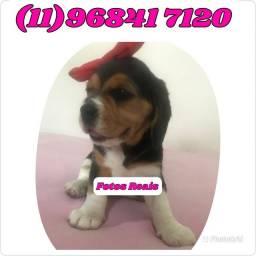 Filhote de Beagle Fêmea (Anúncio com Fotos Reais) não caia em golpes....