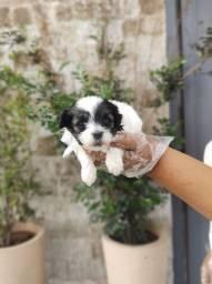 Lhasa Apso filhotinhos à pronta entrega (11)9*5600-5535