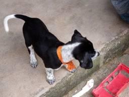 Big americano beagle femia
