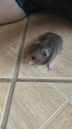 Vendo lindos filhotes de hamsters