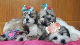 Lhasa Apso filhotes femeas disponiveis hoje 27 99668-1558