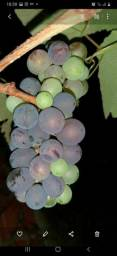 Mudas de uva, muda Manu