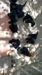 Vende-se filhotes de Good com Labrador Disponível zapp *  .