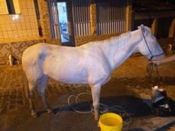 Cavalo gazo