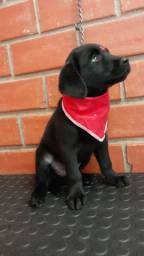 Macho de Labrador Black