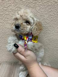 Baby Poodle macho
