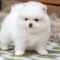 Lulu da Pomerania anão branco macho