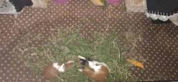 Vendo casal de porquinhos da Índia