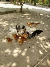Vendo Bode, galinha, porcos e vaca