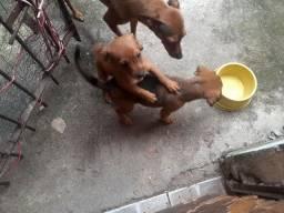 Doação filhotes cachorros