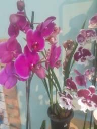 Orquideas para o dia das mães