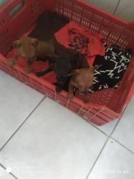 Filhotes de Pincher machinhos nascido 16 12 de 2020