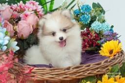 Título do anúncio: Lulu da Pomerania Filhote Baby Face