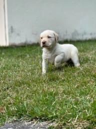 Título do anúncio: Labrador// @canilcanaa