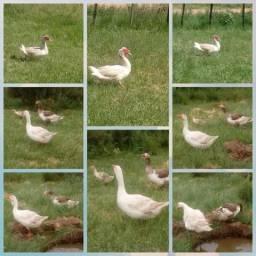 Vendo ganso macho e femea e filhote, mais pato macho tudo por 170.00rs