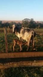 Vaca girolanda parida