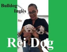 Bulldog Inglês com pedigree - REI DOG