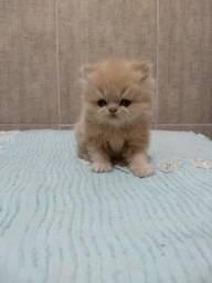 Vende-se lindos filhotes de gatos persas ??