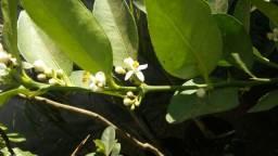Mudas de limão galego produzindo